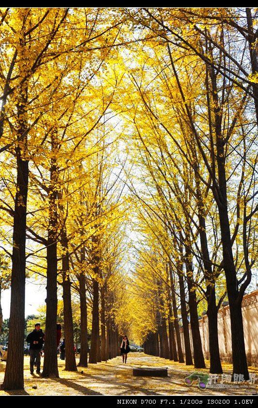 北京钓鱼台国宾馆墙外的银杏树多年来备受摄影人的关注,有好多高手拍过精彩PP。我也多年觊觎这里,但每每苦于没有时间去。去年本计划去一次,但还没等树叶黄就下大雪了,没拍成。今年左等右等,好容易等树叶黄了,又赶上两件大的活动,错过了最佳拍摄期。不过,前几天还是去了。