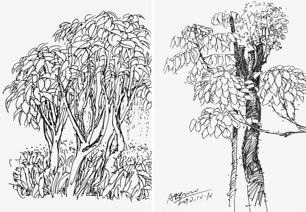 香樟树手绘立面图