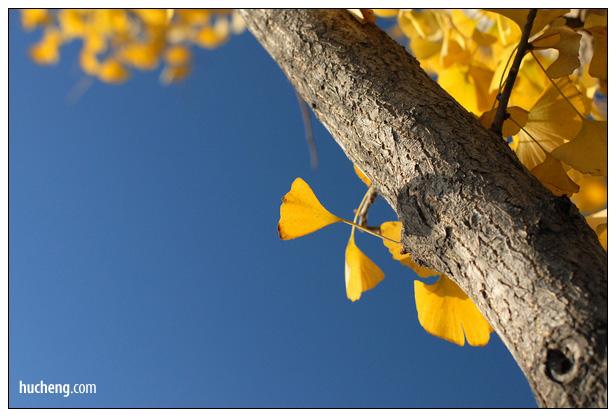 写在银杏飘落的日子里