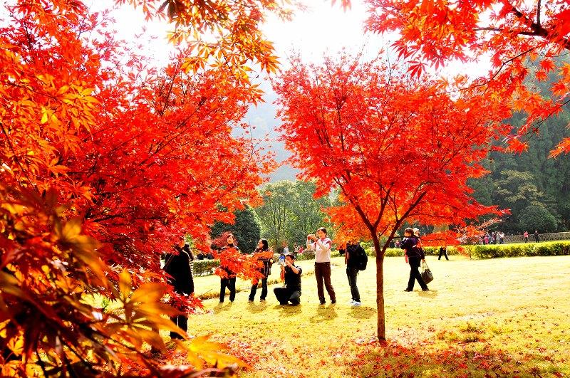 精美枫树壁纸风景
