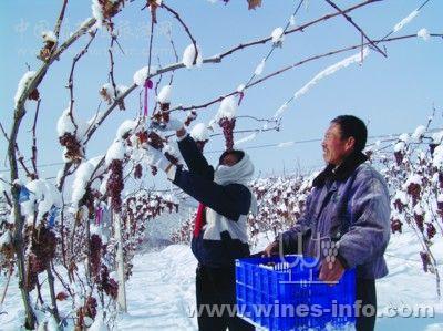 在葡萄树上自然冰冻的葡萄酿造的葡萄