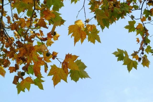 秋天的梧桐树_歌曲梧桐树简谱