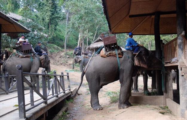 在泰国的林区,人们训练大象为人类搬运木头和驮着人类林间旅游。上面的一张图片是人类在训练大象运木头,下面的图片是准备载人去旅游。 这些大象运送木材的技巧很多,细一些的用鼻子配合长牙搬运;重一些的可用鼻子推着移动;如果木材太长,可以两只大象协作完成。 大象也能帮助主人看孩子,当孩子爬到院外时,大象会用鼻子把孩子轻轻的卷起,再放回到院子里孩子原来玩的地方。