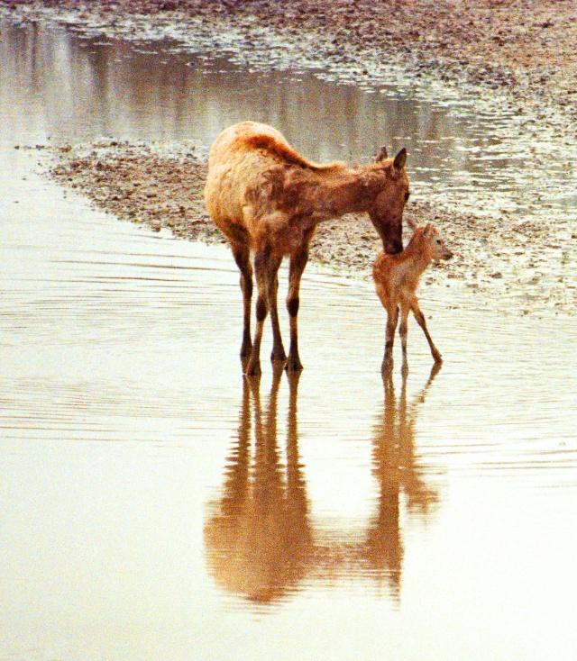 动物世界:麋鹿