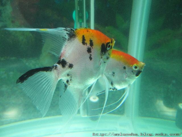 一对红头燕鱼正在热恋-鱼乐
