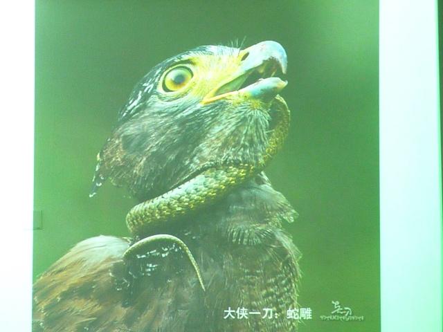 水雉是一种水陆空全能的鸟类:美羽瞬间