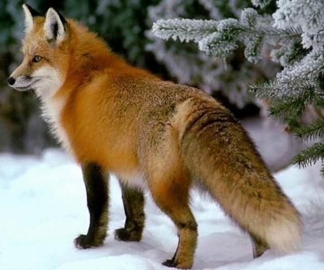 """天又要下雪了,野外的动物们都在忙碌着找食物,吃饱了好熬过雪天。  早晨刚起床不久,站在外面玩耍的小狐狸就喊:""""妈妈!有只乌鸦叼着一块儿肉往  西飞去了!""""小狐狸的喊叫惊动了狐狸妈妈,马上跑了出来观望,然后说:""""东边一定有吃的,我去给你们寻点儿来""""。  火狐狸刚上路,遇见一只乌鸦叼着个干树枝飞过,马上搭话:""""乌鸦你不去给孩子找吃的,弄个干树枝干啥呀?"""" 乌鸦听见狐狸搭话,马上落了下来,放下树枝就给狐狸聊了起来""""我要在大树上建"""